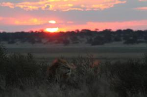 lion-mabuesehube-esize (1)